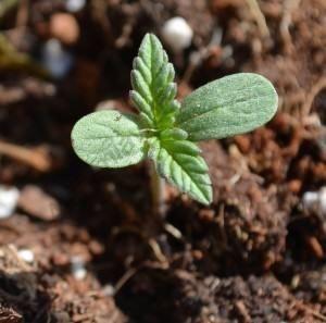 marihuana en grow shop